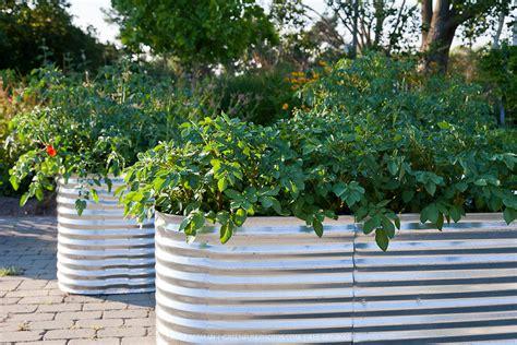 Raised Tomato Planter by Tomato Container Garden Greenfuse Photos Garden Farm