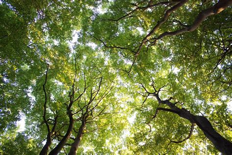 tree is up panoramio photo of looking up into the tree crowns