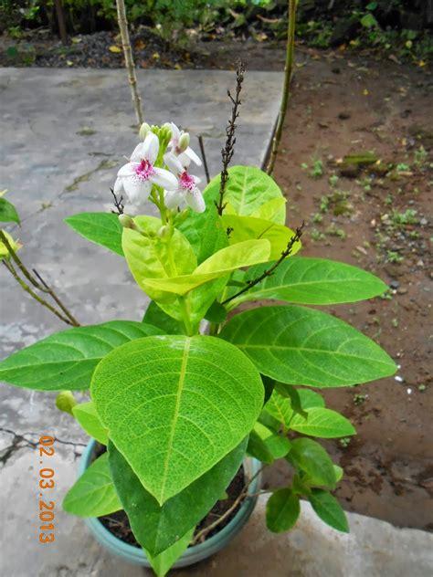 jual pohon melati jepang murah jual tanaman hias melati