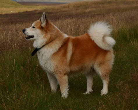 types of sheep dogs sheepdog types
