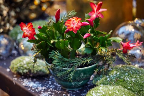 how much darkness do christmas cactus need 20 tips to get your cactus to bloom during the holidays