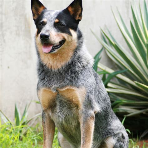 cattle dogs australian cattle puppies for sale