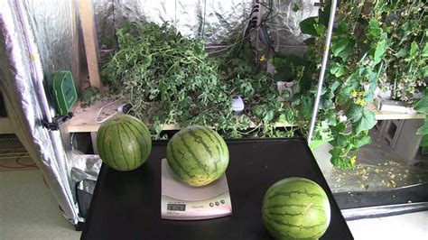hydroponic watermelon grown indoors youtube