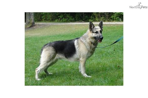 raising german shepherd puppies german shepherd puppy for sale near lake of the ozarks missouri 83c08a73 47a1