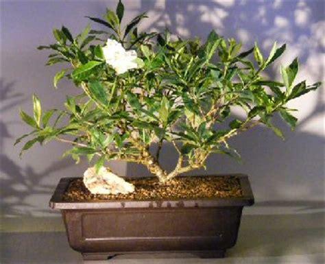 flowering gardenia bonsai treejasminoides miami supreme