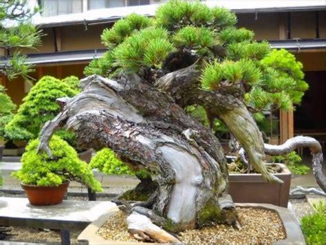 dasar menu mbuhkan pohon bonsai super mudah