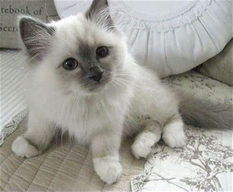 2 ragdoll kittens 35 best ragdoll cat images on baby kittens