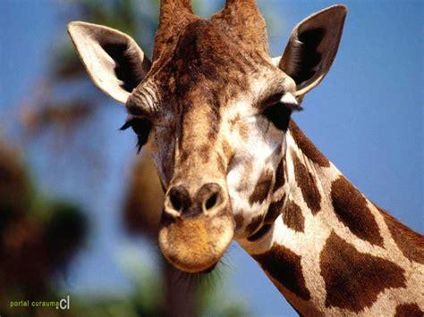 imagenes de jirafas apareandose jirafa wikia wiki animales fandom powered by wikia