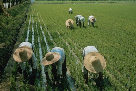 maltempo:  10% per la raccolta del riso nel 2014