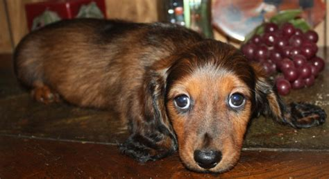 dachshund puppies kansas dachshund adoption kansas city dogs our friends photo