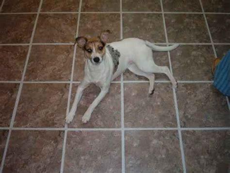 rottweiler rat terrier mix bulldog rat terrier mix breeds picture