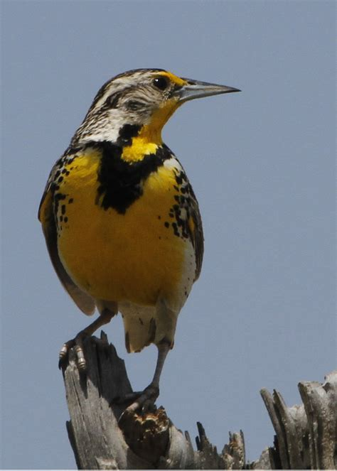state birds wyoming state bird western meadowlark