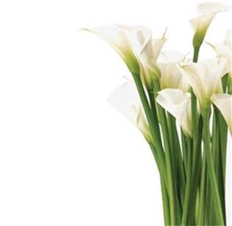 come coltivare le calle in vaso calla coltivazione fiori in giardino coltivazione