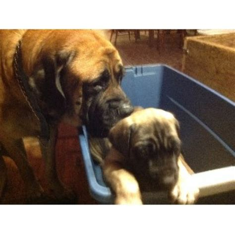 mastiff puppies for sale in indiana mastiffs puppies for sale in indiana design bild
