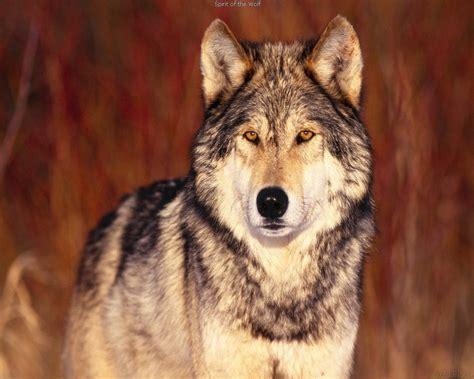imagenes de lobos en 4k wolf pictures all about wolves 4 chainimage