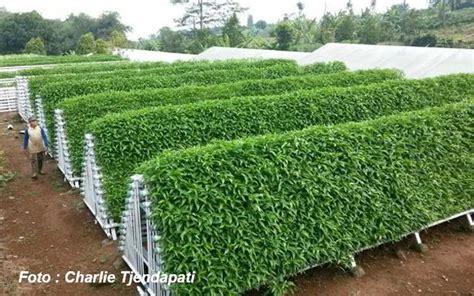 Buku Pertanian Sukses Bertanam Kangkung fantastis tanam kangkung tjendapati beromset 97