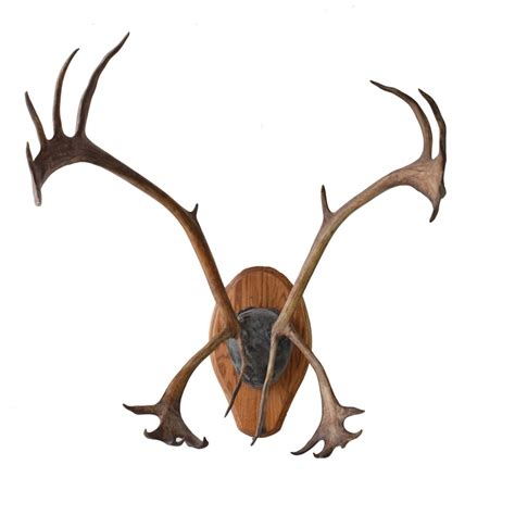 caribou antlers taxidermy mounts for sale and taxidermy
