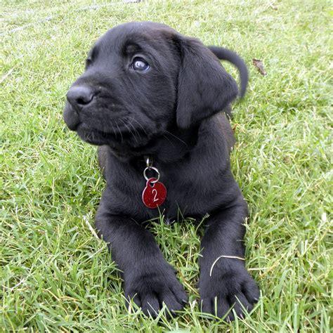 mastador puppies mastador puppies for sale