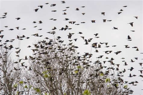 blackbirds flock together for food protection houston