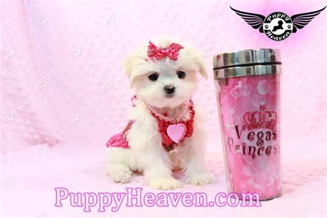 teacup puppies for sale las vegas pomeranian puppy for sale in las vegas breeds picture