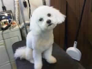 bichon poo haircuts bichon frise lamb cut www pixshark com images
