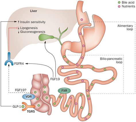 Gastric Bypass Do A Liver Detox by Bile Acid Receptors As Targets For Development