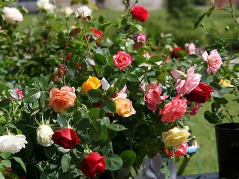 imagenes de jardines con rosales cu 225 ndo y c 243 mo plantar rosales