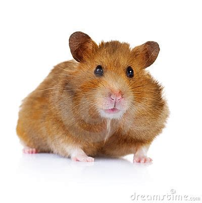 hamster stock image image