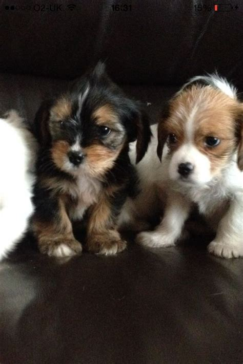 cavalier mix puppies king charles yorkie cavalier king charles spaniel x terrier mix info pictures