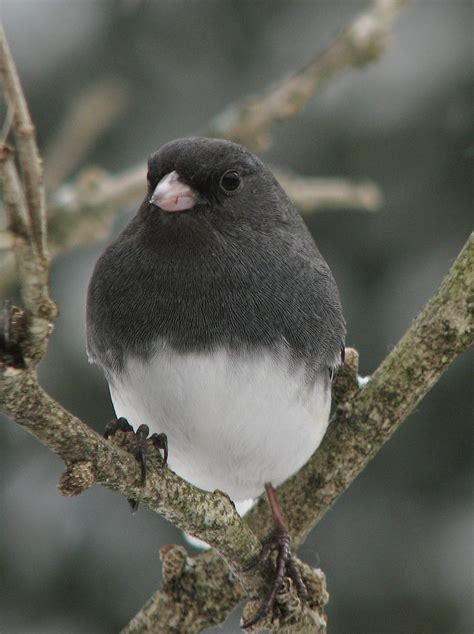 south burlington birds dark eyed junco photos south