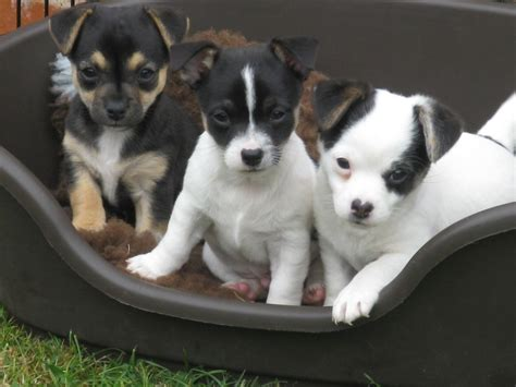 jackhuahua puppies for sale stunning jackhuahua puppy for sale minehead somerset pets4homes