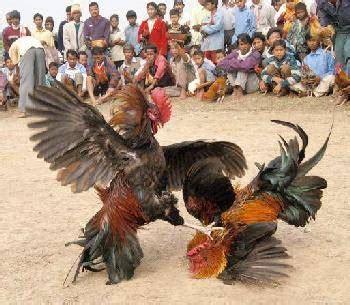 la navaja peruana gallos de pelea gallos peruanos share pelea de gallos taringa