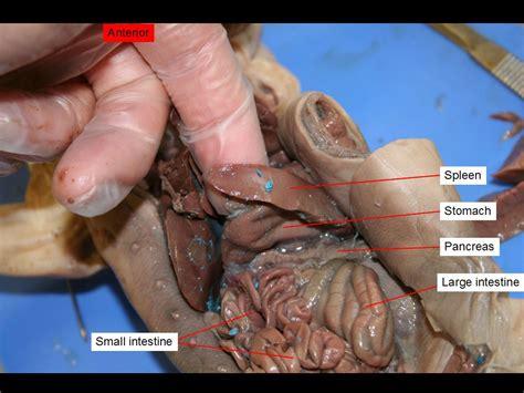 fetal pig stomach diagram fetal pig dissection pictures