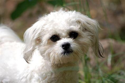 cavachon rescue dogs tilly cavachon ammanford carmarthenshire pets4homes