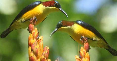 Kura Kura Ambon Betina ciri jantan dan betina burung madu sangihe