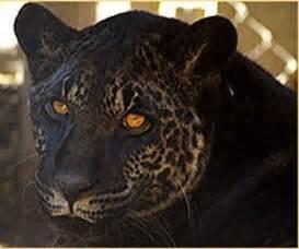 Jaguar And Tiger Hybrid Jahzara Is A Jaglion Or Jaguon The Hybrid Between A