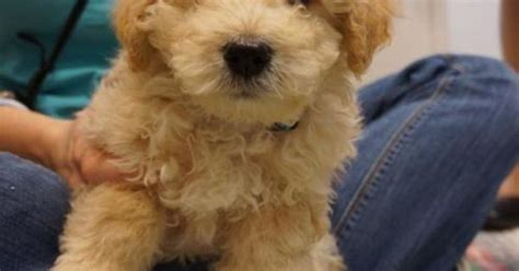 puppy finder houston find dogs for adoption search local rescue and shelters malti poo houston