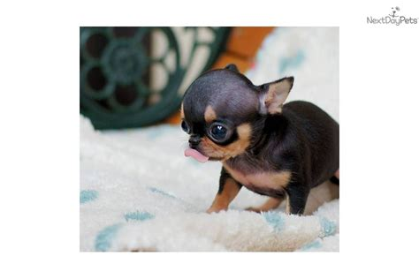 micro pocket puppies teacup chihuahuas for sale in upcomingcarshq