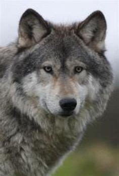 grey wolf puppies for sale 25 best ideas about dogs for sale uk on baby sale uk tiny puppies for