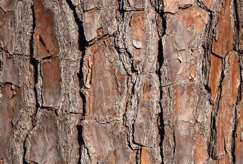 pine tree bark for background stock photo image of