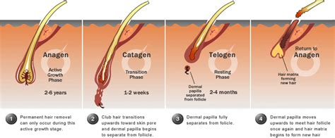 Shedding Phase Of The Hair Growth Cycle by The Hair Cycle Anagen Catagen Telogen About Dermatology