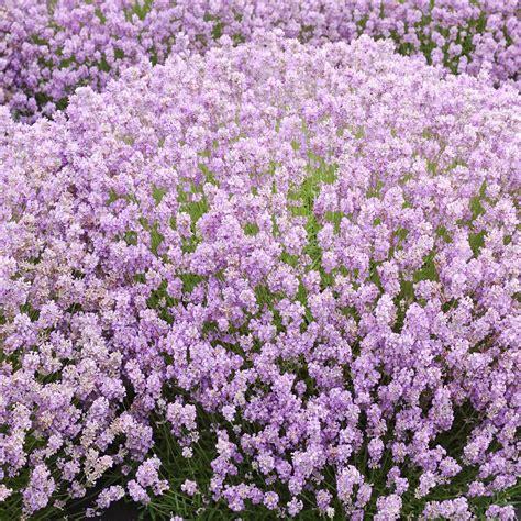 Lavender Pink buy lavender lavandula angustifolia rosea 163 12 99 delivery