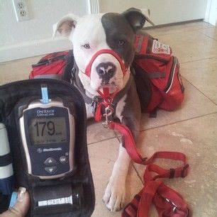 diabetic service dogs cost 17 best images about t1d service pups on service