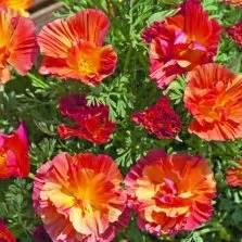 Benih Bibit Biji Bunga Begonia Summer Rainbow F2 Seeds Import benih zukini courgette zucchini
