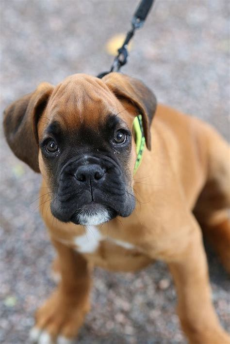 how much are boxer puppies 1000 ideas about boxer puppies on boxer puppies boxers and boxer dogs