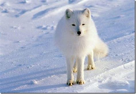 just animal: the arctic fox