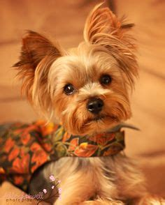 my yorkie keeps shaking animals on 94 pins