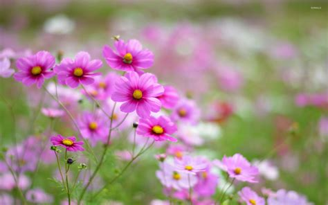 flower pic pink cosmos 2 wallpaper flower wallpapers 32993