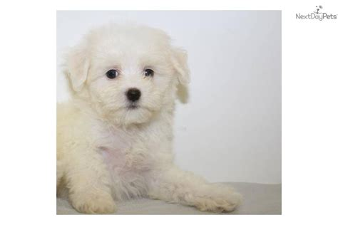 maltipoo puppies for sale in ohio teddy puppies breeder ohio breeds picture