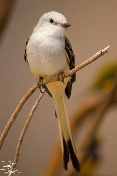 78 images about scissor tailed fly catchers on pinterest